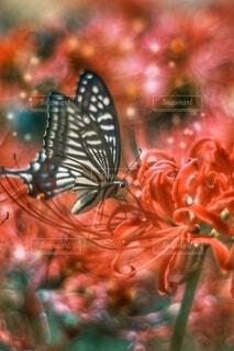 彼岸花とアゲハ蝶の写真・画像素材[4839324]
