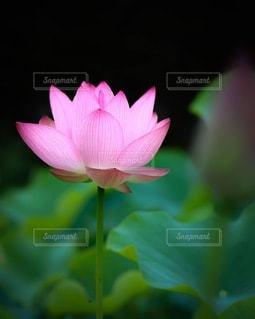 蓮の花の写真・画像素材[3358081]