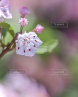 カルミアの花と蕾の写真・画像素材[3359661]