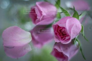ピンクのスプレーバラの写真・画像素材[3359664]