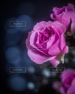 ピンクの薔薇の写真・画像素材[3359667]