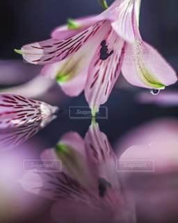 アルストロメリアの写真・画像素材[3365352]