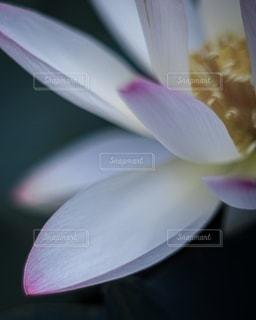 蓮の花びらの写真・画像素材[3371083]