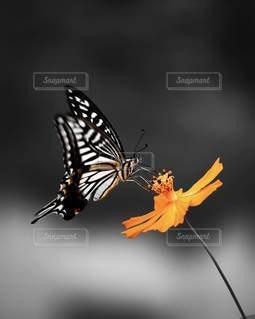 アゲハチョウの写真・画像素材[3407577]