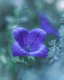 桔梗の花の写真・画像素材[3434474]