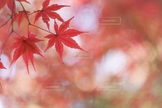 紅葉の写真・画像素材[3492475]