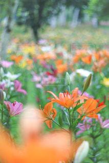 ユリの花畑の写真・画像素材[3579117]