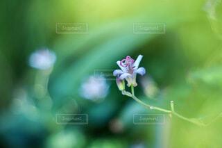 ホトトギスの花の写真・画像素材[3694939]