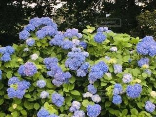 紫陽花のクローズアップの写真・画像素材[3369119]
