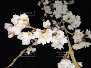 夜桜の写真・画像素材[3402946]