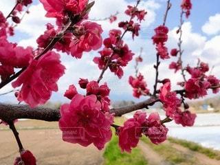 梅の花の写真・画像素材[3403542]