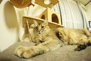 猫の写真・画像素材[140541]