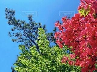 つつじと木々と青空の写真・画像素材[3378115]