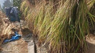 収穫後の稲の写真・画像素材[3362221]