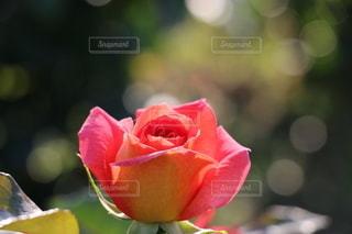 花のクローズアップの写真・画像素材[3363155]