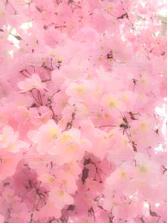 桜の写真・画像素材[390193]
