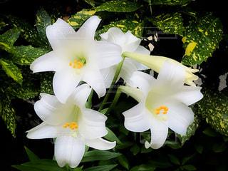 花の写真・画像素材[550901]