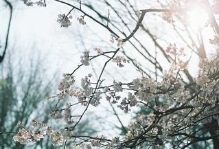 早咲きの桜の写真・画像素材[3368153]