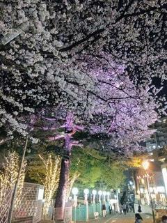 としまえん 夜桜の写真・画像素材[3367388]