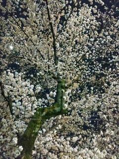 としまえん 夜桜の写真・画像素材[3367390]