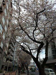 桜の写真・画像素材[3367394]
