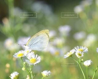 白い花と蝶々のクローズアップの写真・画像素材[4350117]
