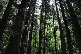 森の中の木の写真・画像素材[3370760]