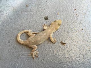 爬虫類の写真・画像素材[143554]