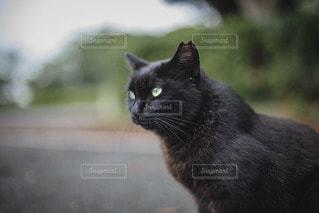 カメラを見ている猫の写真・画像素材[3489915]