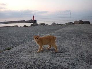 橋と赤い灯台が見える港を歩くねこの写真・画像素材[3641404]