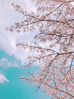青空と桜の写真・画像素材[3377386]