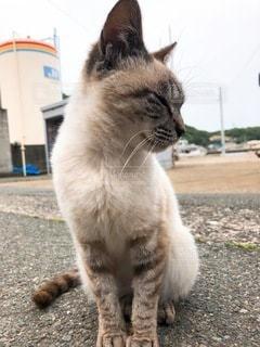 猫島の猫の写真・画像素材[3380335]