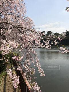 桜 名古屋城のお濠周りにての写真・画像素材[4015672]