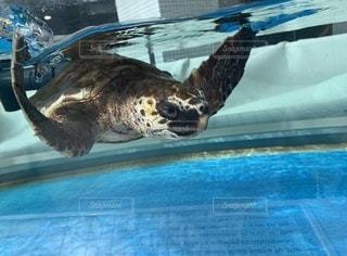 水の下で泳ぐカメの写真・画像素材[3384098]