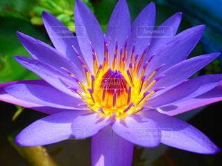 光輝く紫の蓮の花の写真・画像素材[3429833]