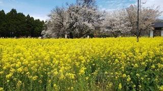 菜の花と桜の写真・画像素材[3386629]