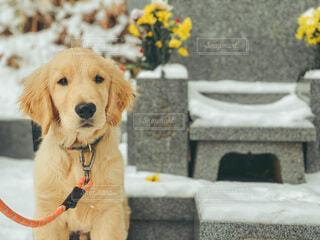 お墓参りをする犬の写真・画像素材[4043606]