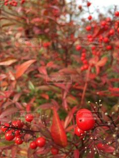 いい赤色の写真・画像素材[141407]