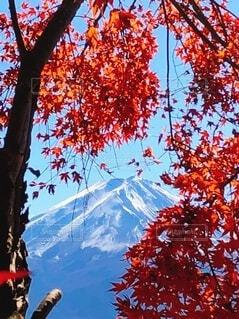 木の向こうには富士山の写真・画像素材[3724764]