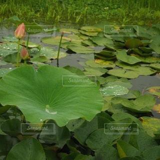 蓮の葉の写真・画像素材[3389921]