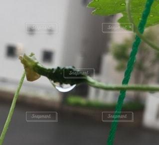 ゴーヤと雨の写真・画像素材[3394863]