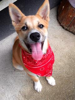 犬の写真・画像素材[142527]