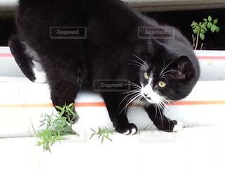 テーブルの上に座っている猫の写真・画像素材[3629162]