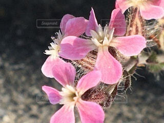 道端のピンクの花の写真・画像素材[3774200]