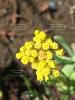 黄色い花のクローズアップの写真・画像素材[4037649]