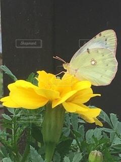 花に止まっている白い蝶の写真・画像素材[4060322]