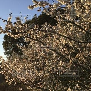 白梅のクローズアップの写真・画像素材[4126771]