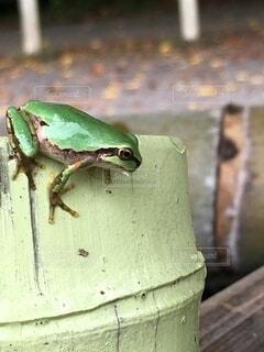 カエルのクローズアップの写真・画像素材[4195214]