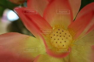 蓮のクローズアップの写真・画像素材[3404467]