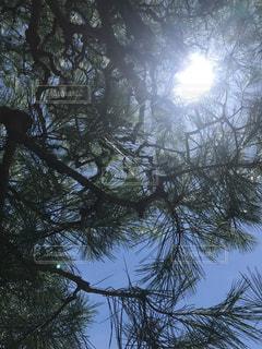 松の下から見上げての写真・画像素材[3415320]